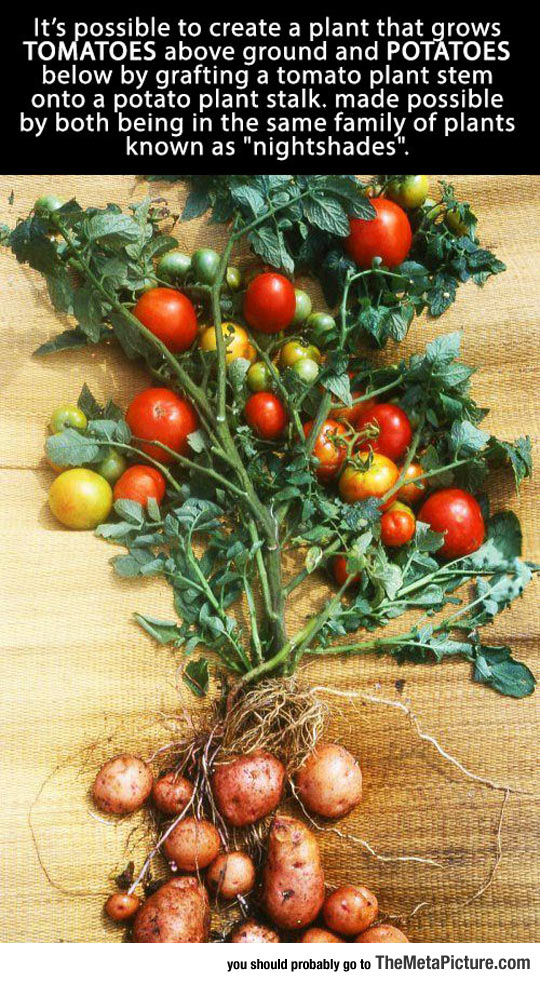 genetics-tomatoes-potatoes-plant