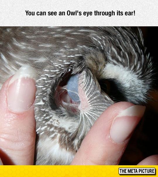 cool-owl-eyes-visible-ear-hole