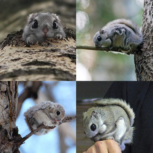 Japanese Flying Squirrels Look Unreal