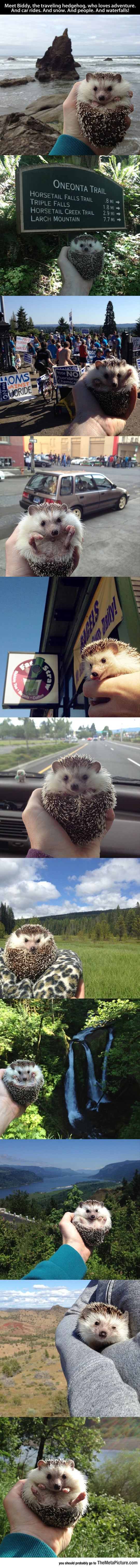 This Guy Is Known As The Traveling Hedgehog