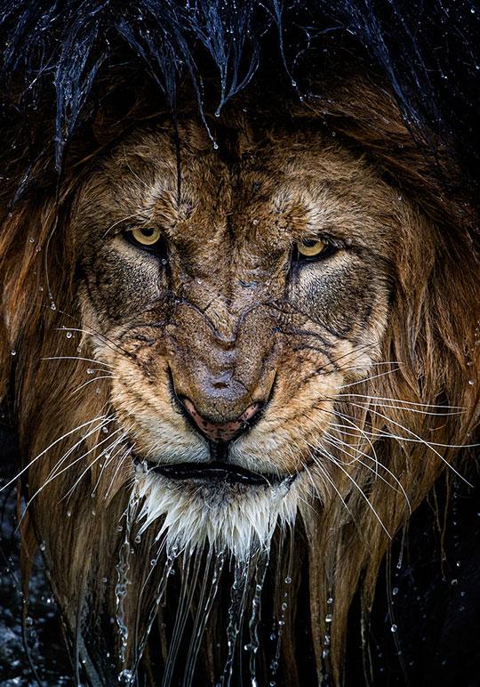 Majestic Wet Lion