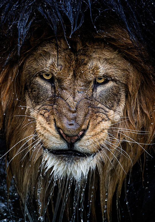 cool-wet-lion-face-angry