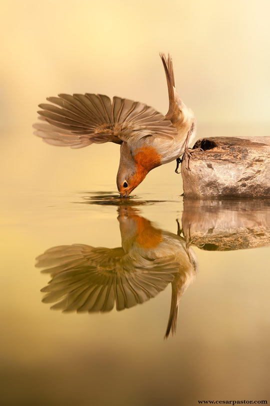 funny-bird-robin-drinking-lake