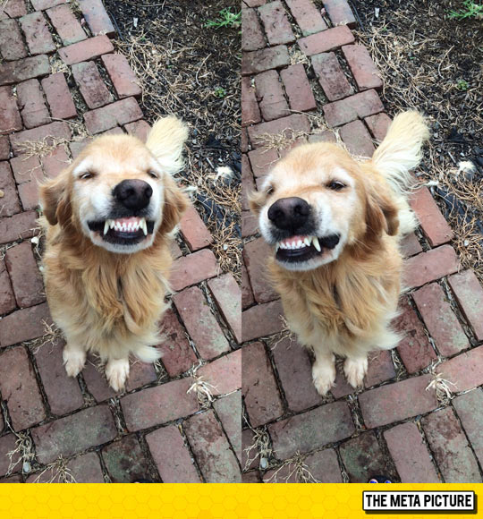cool-dog-showing-teeth-golden