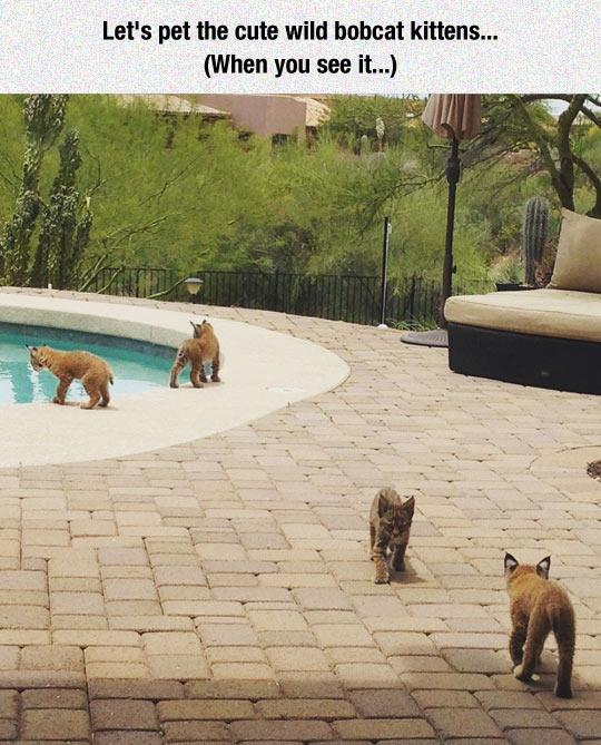 cute-bobcat-kitten-pet-pool