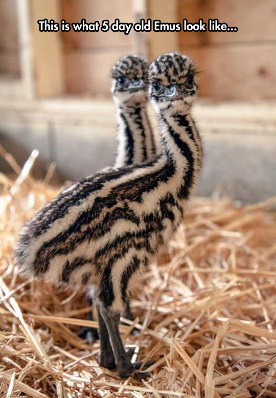 cool-baby-emus-tiny-brothers-cute