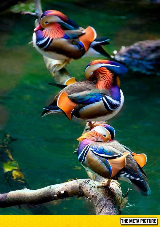 Majestic Mandarin Ducks