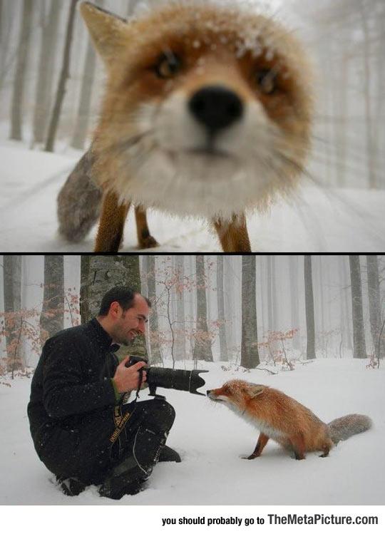 This Curious Fox