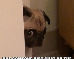 Peeking Pug Has Some Bad News
